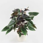 Anthurium Black Beauty in Riva wit
