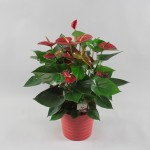 Anthurium Bugatti Red 17 cm in Riva pot rood