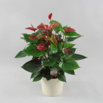 Anthurium Bugatti Red 17 cm in Riva pot wit
