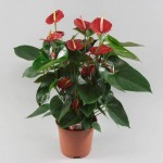 Anthurium Bugatti Red 17cm