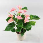 Anthurium Pink Explosion in Riva wit