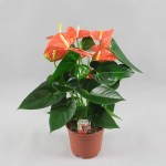 Anthurium Prince of Orange 17 cm