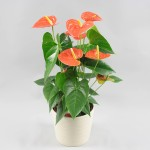 Anthurium Prince of Orange 17 cm in Riva pot wit
