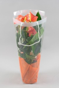 Anthurium Prince of Orange 17 cm in draagtas met doek