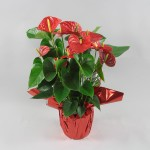 Anthurium Red Winner Rondello