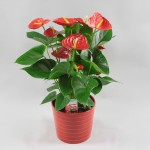Anthurium Red Winner 17 cm in Riva pot rood