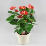 Anthurium Red Winner in Rivapot wit