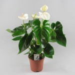 Anthrium White Beauty 17 cm
