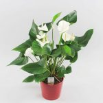 Anthurium White Winner in Riva rood