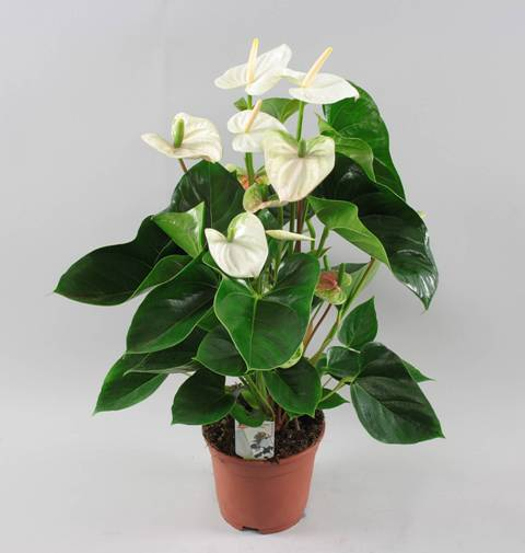 white flowering house plants white flowering house plants flowers gallery - White Flowering House Plants